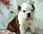 X-mas English Bulldog puppies