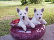 Cute and Tiny West Highland Terrier Puppies for Good homes