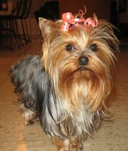 a simple looking yorkie for adoption