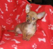 Best Lovely and most charming Chihuahua puppies for sale